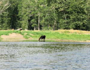 Big Hole River moose